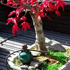 Acer-palmatum225